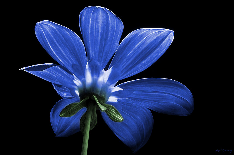 Starlight Daisy - Blue  Starlight daisy in blue.