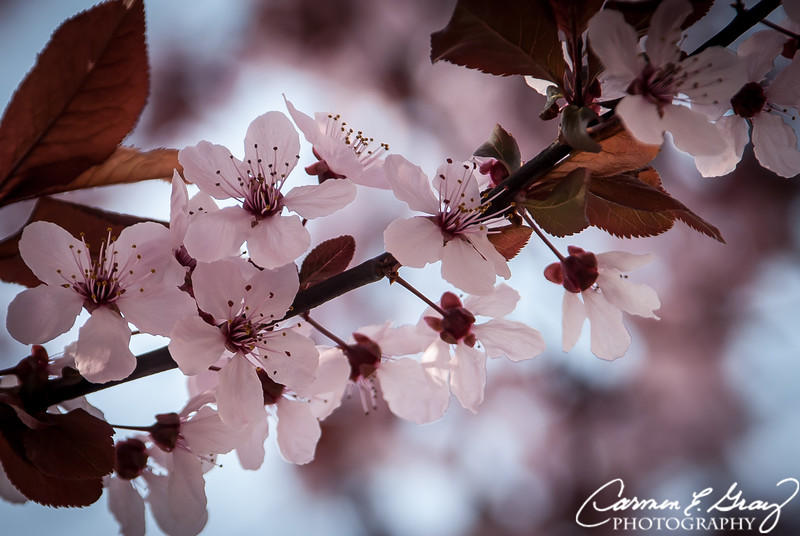 Pink Cherry Blossoms<br /> <br /> Taken March 17, 2012