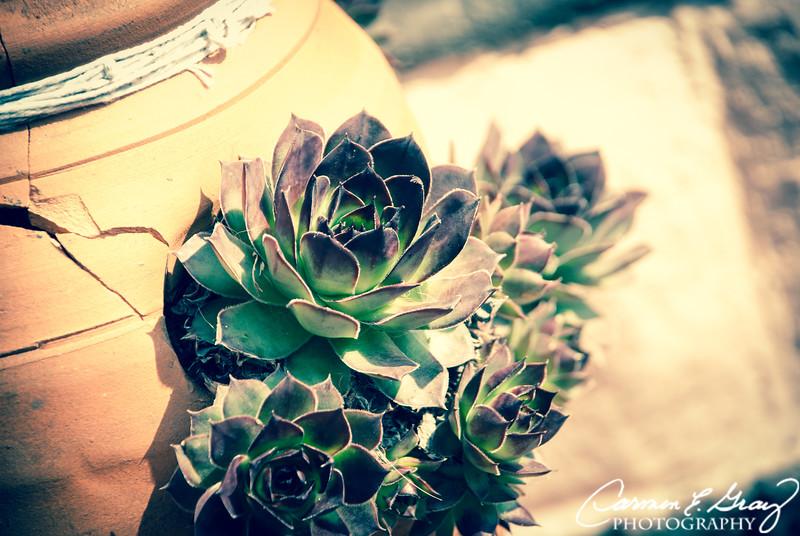 Rose Cactus<br /> <br /> Taken March 17, 2012