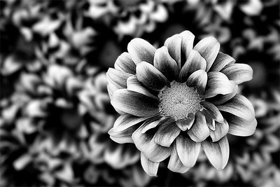 Stand Out BW  From many Mums, one stands out.