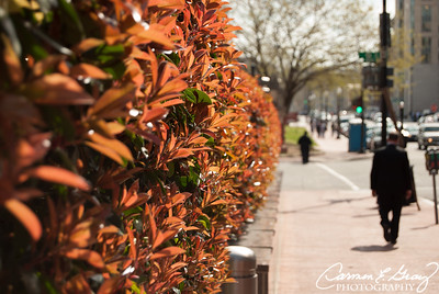 Love these bushes that lined the street in Washington DC