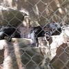 Shadow, a black leopard.