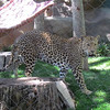 Neruda, a spotted leopard.