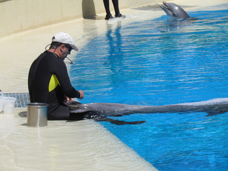 One of the trainers drawing blood from a dolphin.