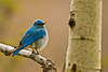 RMNP Mountain Bluebird