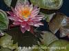 Water Lily 'Myra'