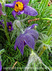 Pasque Flower and Raindrops