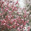 Plum Blossom  红梅