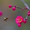 Plum Blossom and Bee,  梅花和蜜蜂