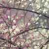 Plum Blossom  白梅红梅