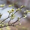 Plum Blossom  白梅