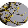 Plum Blossom,  梅花