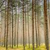 The Forest in Czerwona Woda