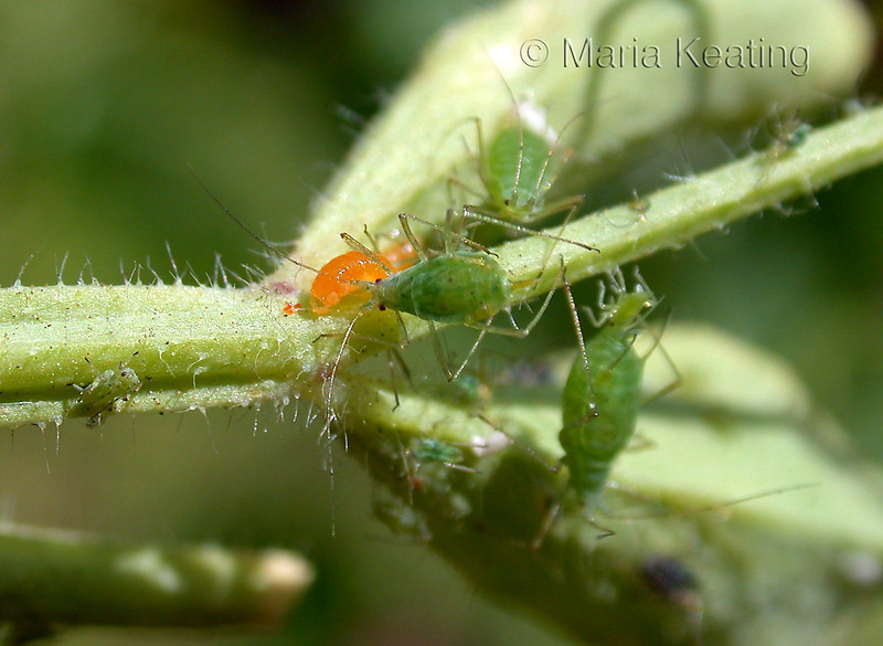 Aphidoletes larva. The voracious orange larva is like a vacuum cleaner for aphids.