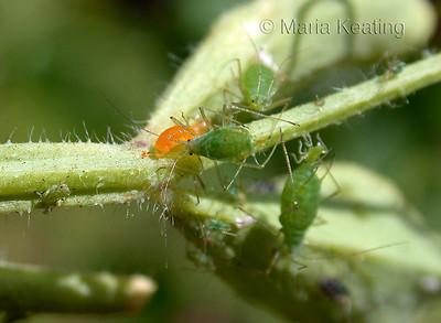 Aphidoletes larva. The voracious orange larva is like a vacuum cleaner for aphids.