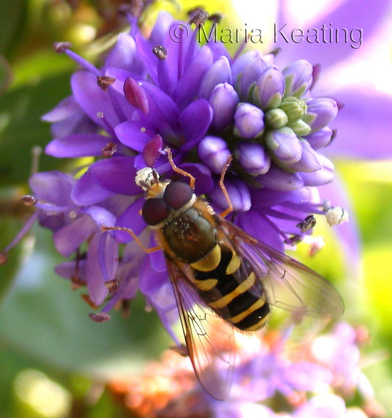Syrphid. Visits flowers to get energy (nectar).  Searches for aphid colonies and lays eggs.