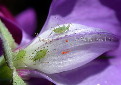 Aphids green. Aphids come in many different colours. Also see orange Aphidoletes eggs.