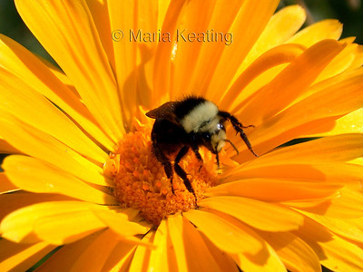 Bumble Bee. Busy worker collecting nectar and pollen for the queen.