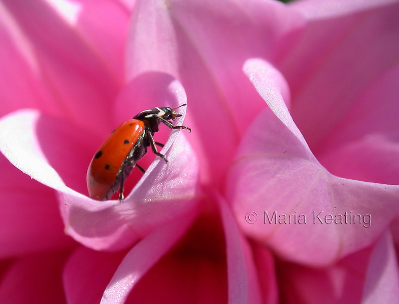 Ladybug. Most recognizable beetle. Attract them by planting fennel.