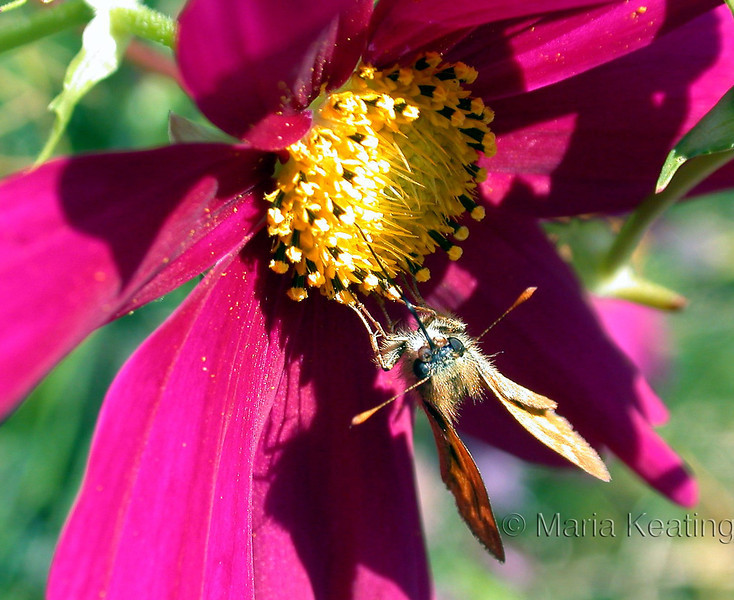 Skipper. With a long tube or proboscis,  skippers siphon nectar from flowers.