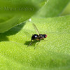 Leafminor. Adults lays eggs in the tissue of leaves. Larvae tunnel through leaves feeding as they go.