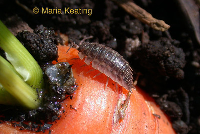 Sowbugs. These bugs break down material to make nutrients available to plants.
