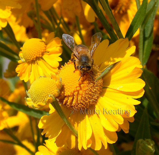Honeybee. Collecting nectar for honey. Honeybees get covered in pollen.