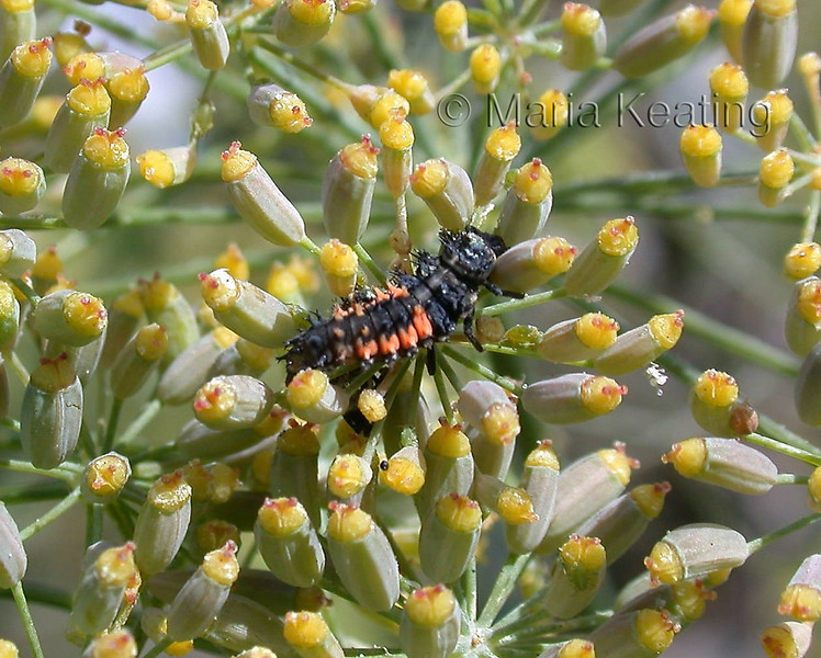 Lady Bug larva. These consume thousands of aphids.