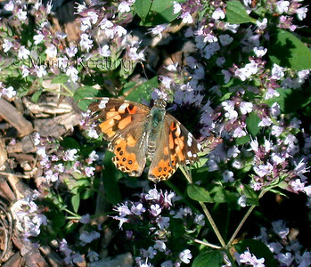 Painted Lady. Plant many different flowers in your garden to attract butterflies.