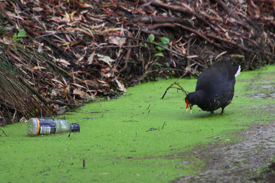 Dusky Moorhen in pond weed with Gatorade