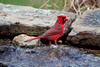 Cardinal at the pond