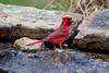 Cardinal at the pond