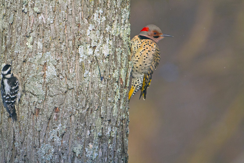 Northern Flicker and friend