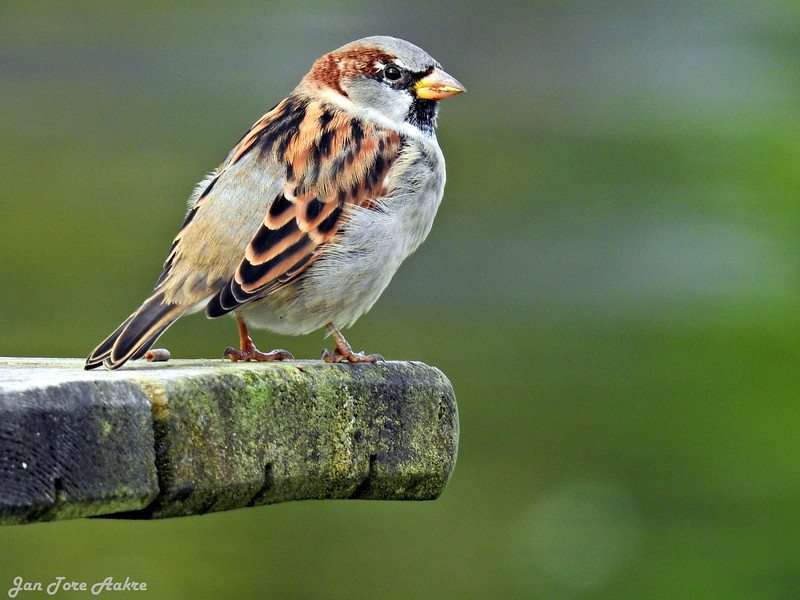 Gråspurv<br /> <br /> House sparrow