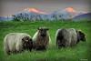 Sau i solnedgang <br /> <br /> Sheeps in sunset