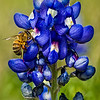John Mead - Bluebonnet Pollination