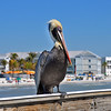 Doug Smith - Floridea Brown Pelican