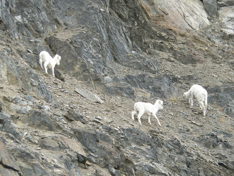 On the drive along Turnagain Arm to Portage Valley, I  encountered some Dall Sheep on the rocky cliffs above.