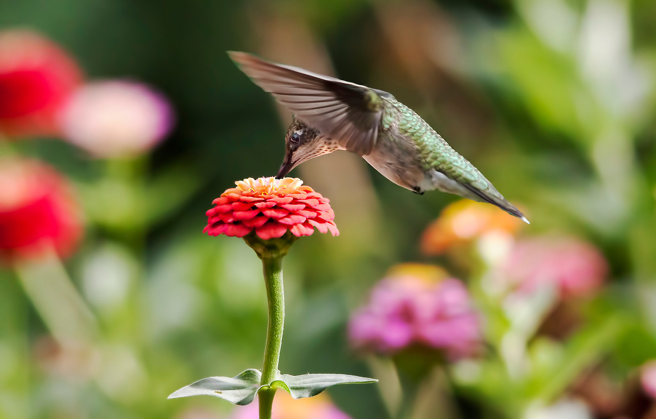 I had a great zinnia garden last summer. the hummers loved it.