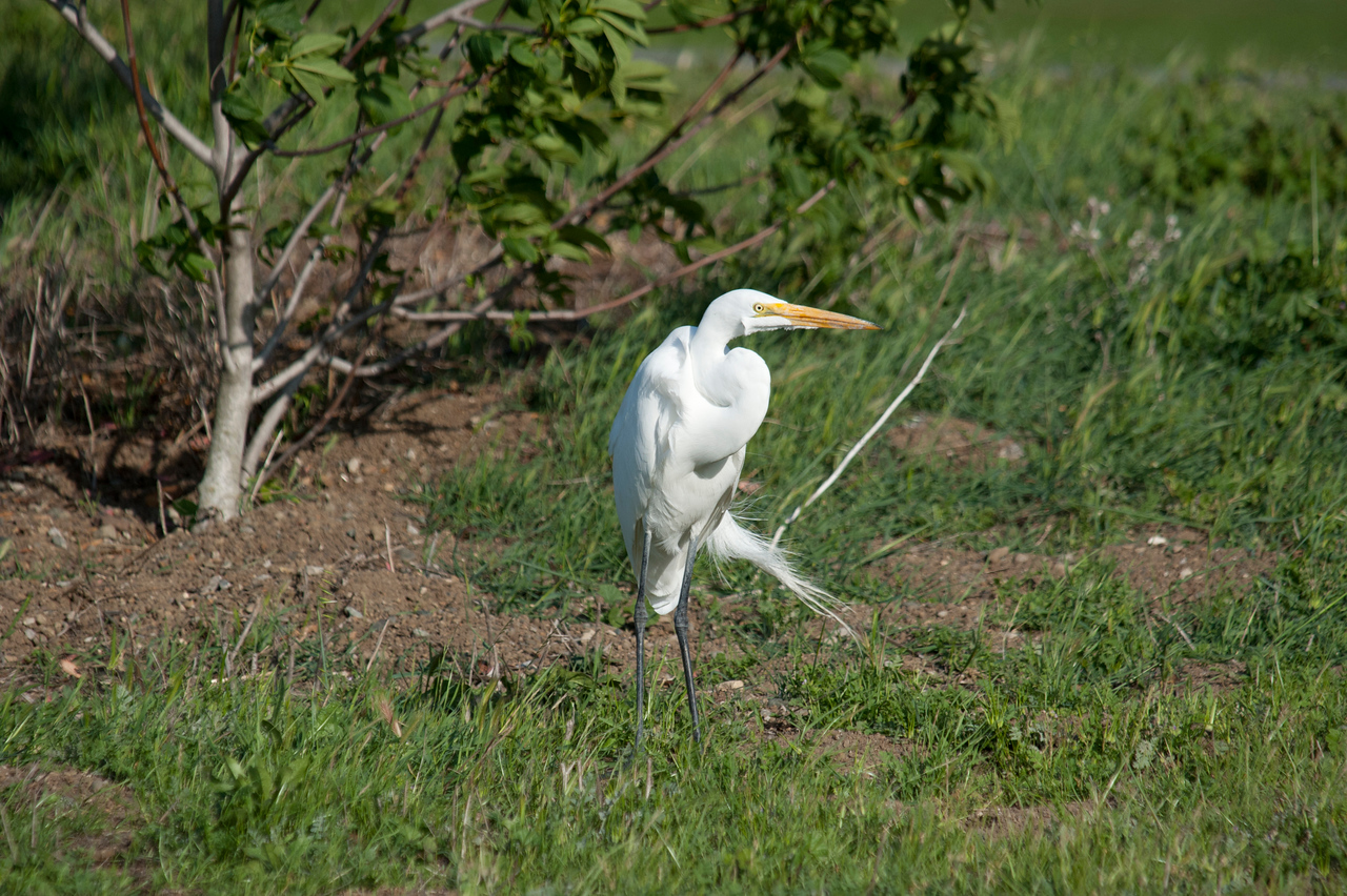 Common Egret, Shoreline Park