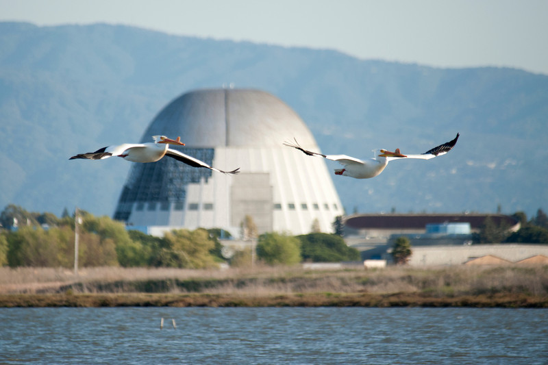 Pelicans in Flight (1)