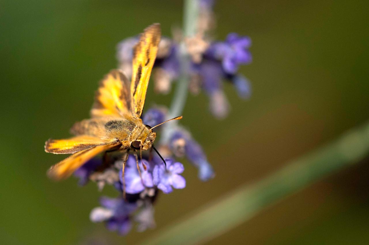 Moth on Lavender