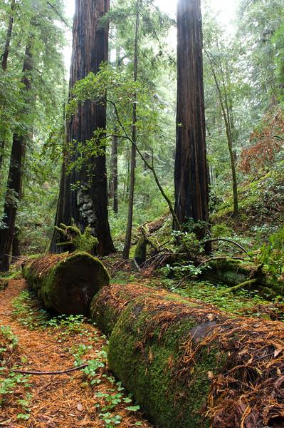 Redwood Trees: Portola Redwoods State Park