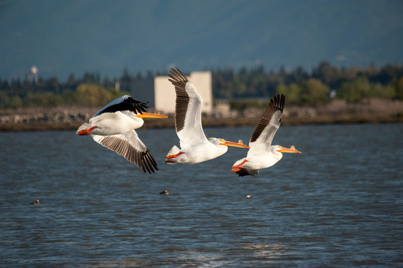 Pelicans in Flight (2)