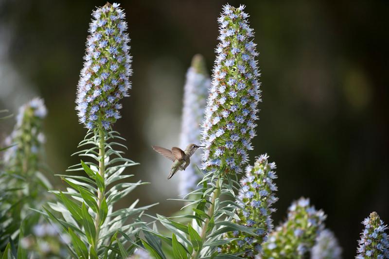 Hummingbird Feeding (1)