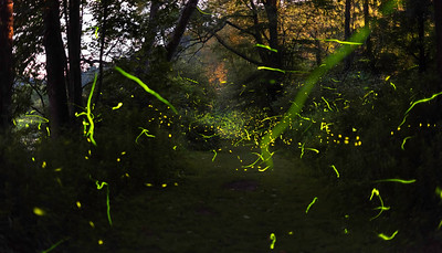 **COMPOSITE OF MULTIPLE EXPOSURES** Fireflies including Father Mac's firefly (Photinus macdermotti), Big dipper firefly (Photinus pyralis), and Chinese Lantern firefly (Photuris versicolor-complex) are seen along Tionesta Creek as biologists from the University of Rochester study firefly populations and other flora and fauna near Kellettville, PA June 28, 2017. UR biology professor Amanda M. Larracuente is working to sequence the genome of the Big Dipper firefly (Photinus pyralis) and is studying the genes involved in the chemical reaction that produces the characteristic flashes of light that fireflies use to communicate, in addition to firefly genome organization and even some of their endosymbionts.  // photo by J. Adam Fenster / University of Rochester