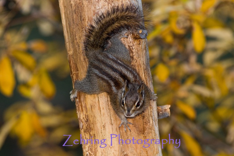 A small squirrel foreging the tree-lines