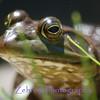 Close-up of a bullfrog sunning himself on a warm mid-summer morning.