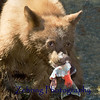 Bear cub enjoys a fresh caught salmon at Taylor Creek CA