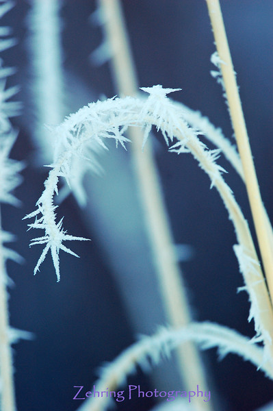 Frozen fog (pogonip) creates interesting crystal spikes on the end of this blade of wild grass.